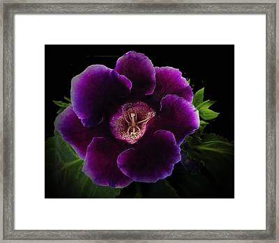 Purple Gloxinia   Framed Print