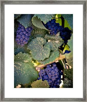 Purple Grapes On The Vine Framed Print by Ana V Ramirez