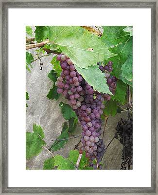 Purple Grapes On The Vine Framed Print