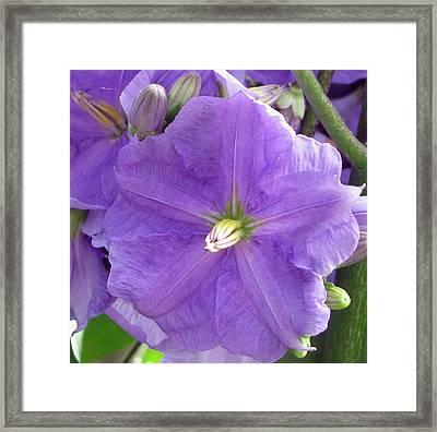 Purple Heart Framed Print by Debi Singer