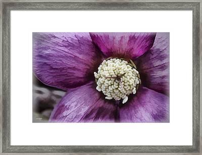 Purple Hellebore Framed Print