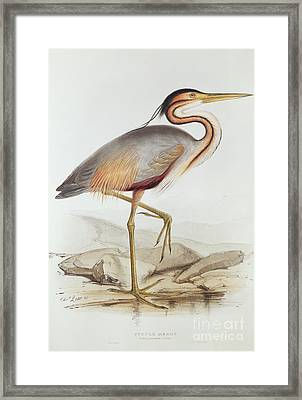 Purple Heron Framed Print by Edward Lear