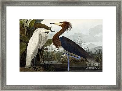 Purple Heron Framed Print by John James Audubon