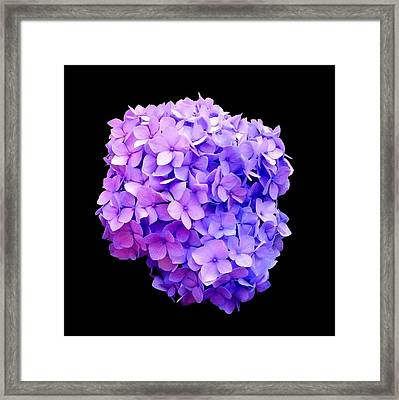 'purple Hydrangea Bloom'  Framed Print