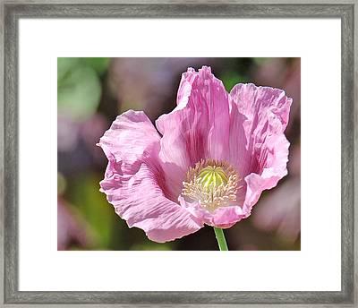 Purple Iceland Poppy Framed Print by Suzanne Gaff
