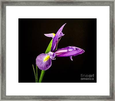 Purple Iris 2 Framed Print by Mitch Shindelbower