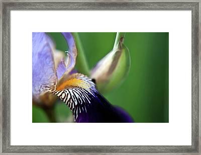 Purple Iris 2 Framed Print by Theresa Tahara