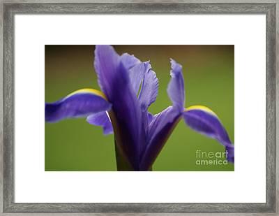 Purple Iris 7 Framed Print by Carol Lynch