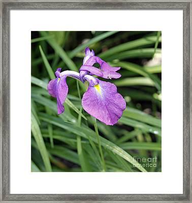 Purple Iris Framed Print by Denise Pohl