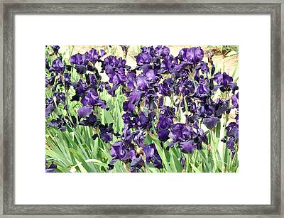 Framed Print featuring the photograph Purple Iris by Diane Lent