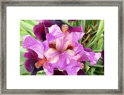 Purple Iris Framed Print by Virginia Forbes
