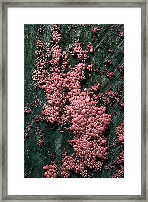 Purple Jellydisc Fungus Framed Print by Nigel Downer
