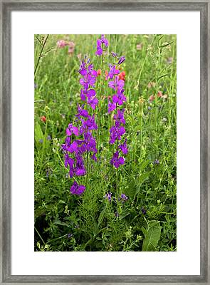 Purple Larkspur (consolida Orientalis) Framed Print by Bob Gibbons