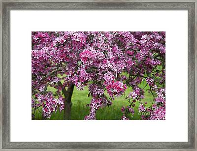 Purple Leaved Crab Apple Tree Blossom Framed Print by Tim Gainey