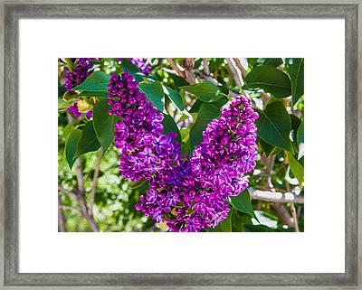 Purple Lilac Love Framed Print