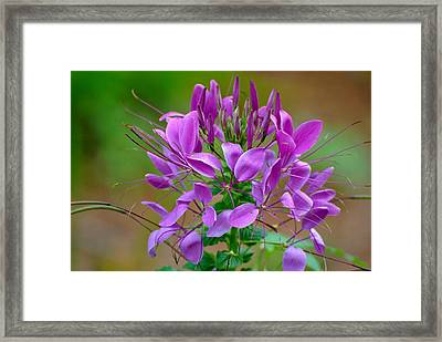 Framed Print featuring the photograph Purple Lilly by Jodi Terracina