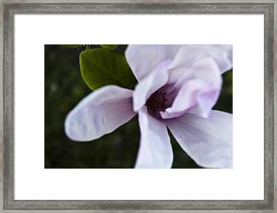 Purple Lily Magnolia Bloom Framed Print