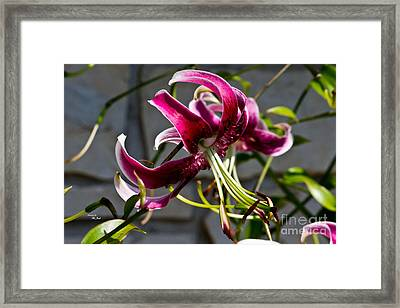 Purple Lily Framed Print