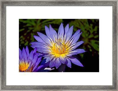 Purple Lotus Close Up Framed Print