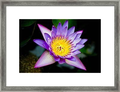 Purple Lotus  Framed Print