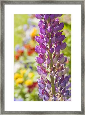 Purple Lupine Flowers Framed Print
