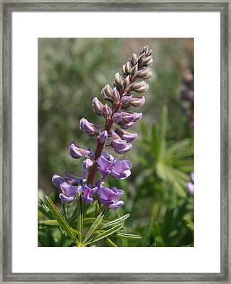 Purple Lupine Framed Print by Jenessa Rahn