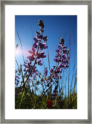 Framed Print featuring the photograph Purple Lupine by Richard Stephen