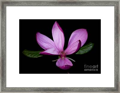 Purple Magnolia Framed Print by Nancy Bradley