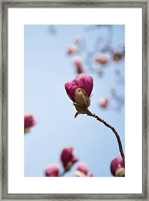 Purple Magnolia Single Framed Print by Priyanka Ravi