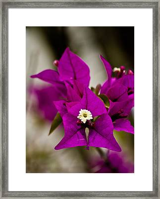 Purple Majestic Pla 504 Framed Print