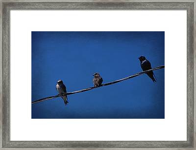 Purple Martin Trio Framed Print