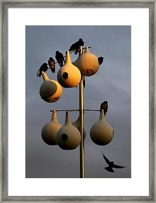 Purple Martin Twilight Framed Print by Karen Wiles