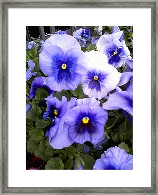 Framed Print featuring the photograph Purple Morning Glory by Fortunate Findings Shirley Dickerson