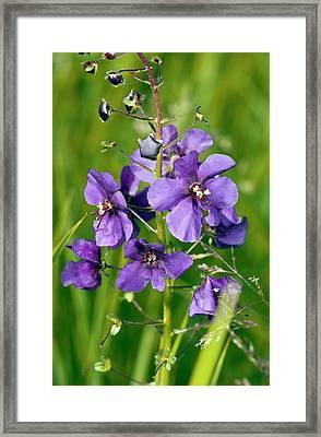 Purple Mullein (verbascum Phoeniceum) Framed Print by Bob Gibbons