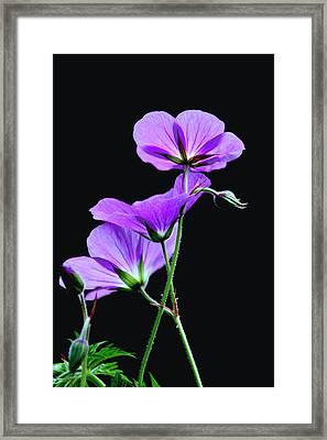 Purple On Black Framed Print by Diane Merkle