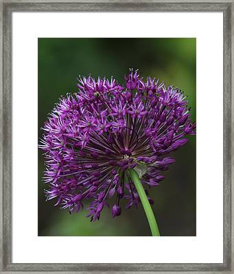 Framed Print featuring the photograph Purple Onion by Bill Woodstock