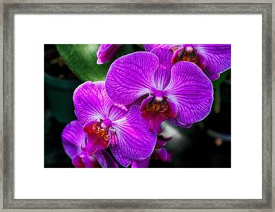 Purple Orchid Glow Framed Print
