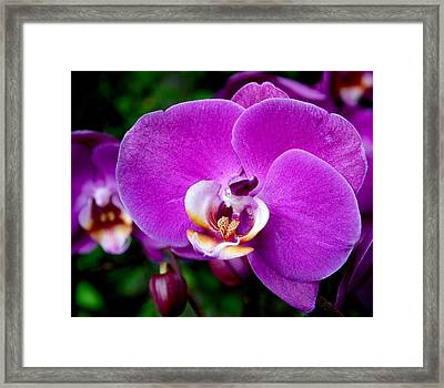 Purple Orchid Framed Print by Rona Black