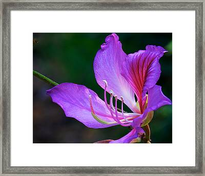 Purple Orchid Tree Flower Framed Print