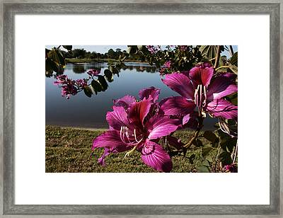 Purple Orchid Tree  Framed Print by Regina  Williams