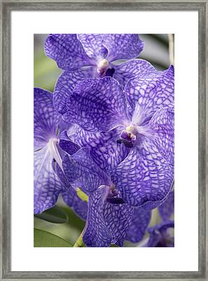Purple Orchids Framed Print