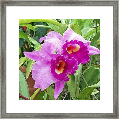 Purple Cattleya Orchids Framed Print