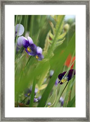Purple Pansies Framed Print by Rebeka Dove