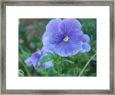 Purple Pansy Framed Print by Annette Allman