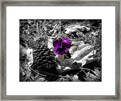 Framed Print featuring the photograph Purple Pansy by Tara Potts