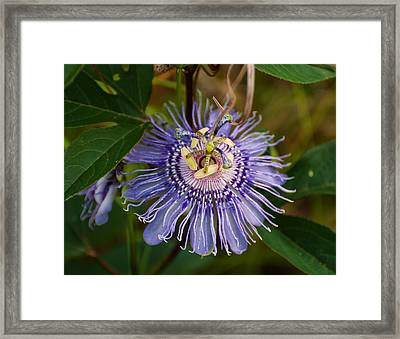 Purple Passion Flower Framed Print by Chris Flees