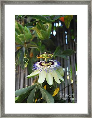 Purple Passion Flower Framed Print by Debra Thompson
