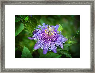 Purple Passion Flower Framed Print by Lynn Bauer