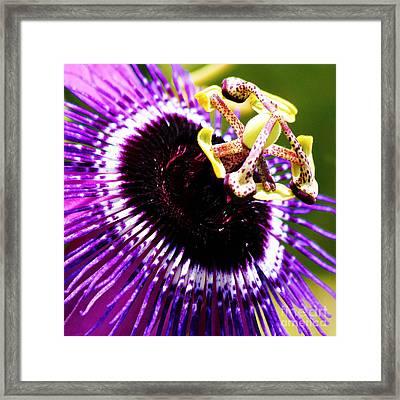 Purple Passion Flower V2 Framed Print by Karen Anderson