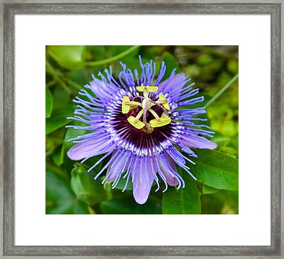 Purple Passion Flower Framed Print by Venetia Featherstone-Witty